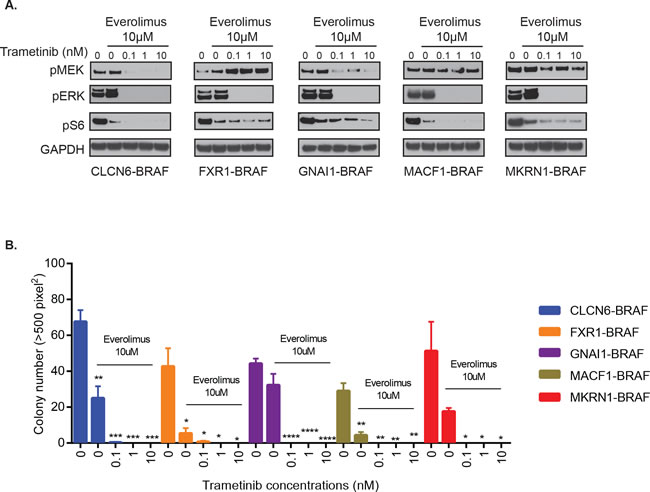 Combinatorial treatment of additional BRAF-fusions with MEKi and mTORi shows inhibition of signaling and oncogenic growth.