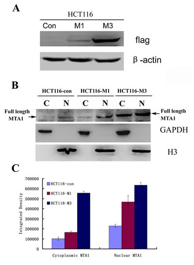 Both nuclear and cytoplasmic MTA1 are enhanced with the increasing expression of exogenous MTA1 in HCT116 cells.