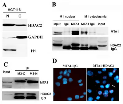 MTA1 interacts with HDAC2 at both the nucleus and cytoplasm.