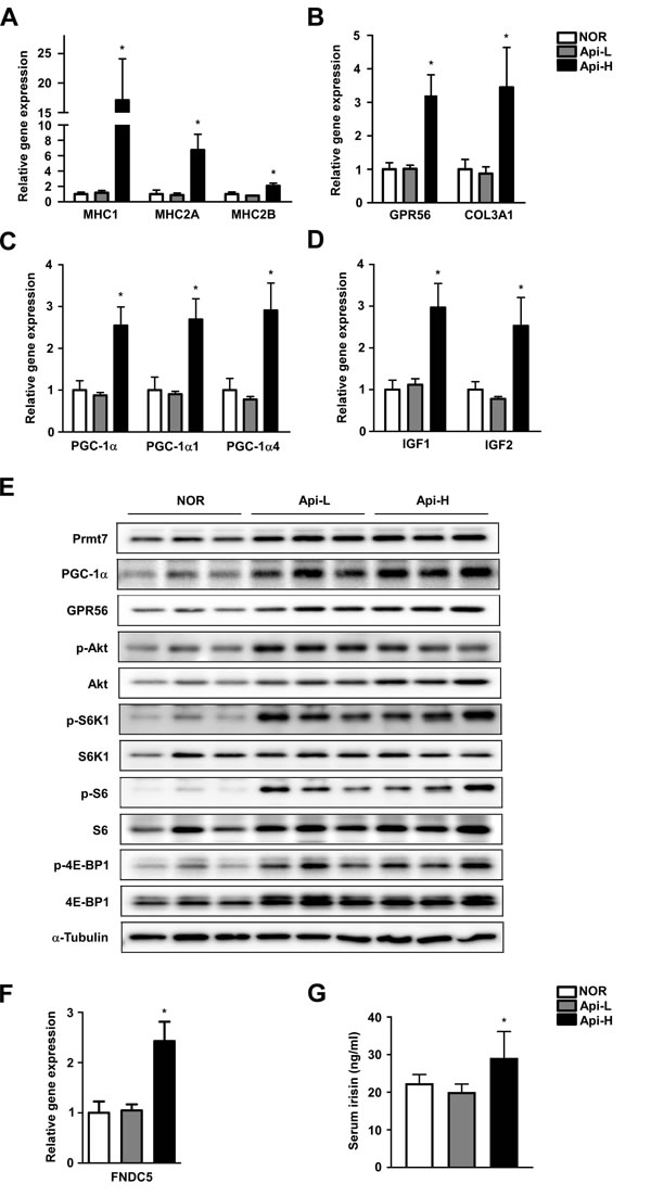 Effect of apigenin on muscle fiber type, GPR56 pathway signaling, and irisin concentration.