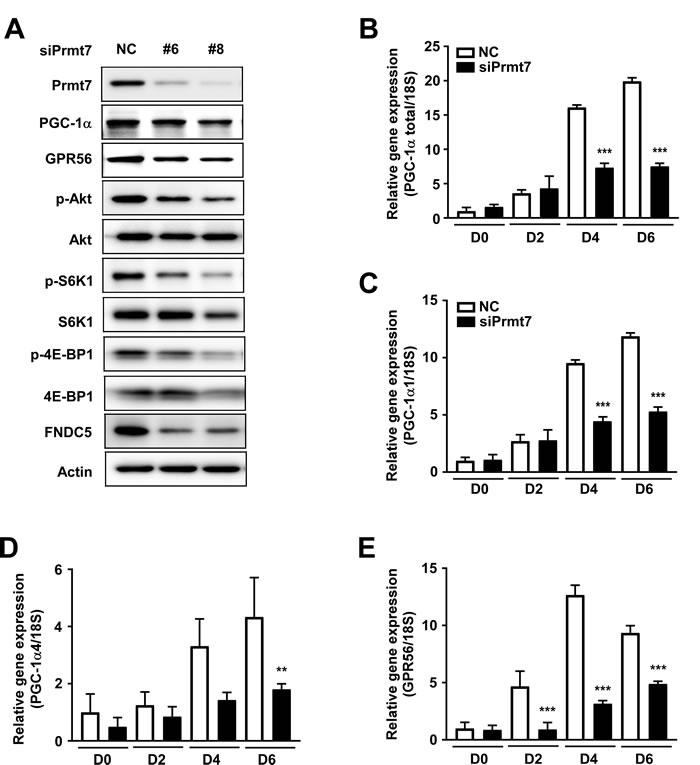 Prmt7 regulates the GPR56 pathway.