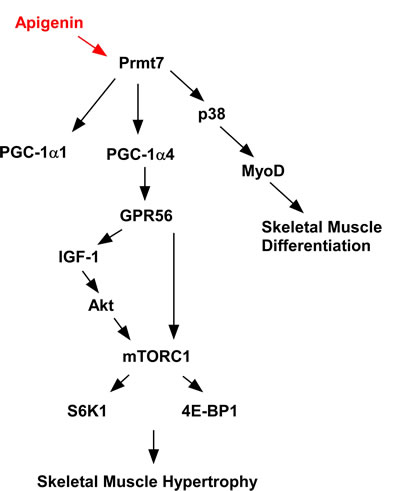 Proposed mechanism of action for the effects of apigenin on skeletal muscle.