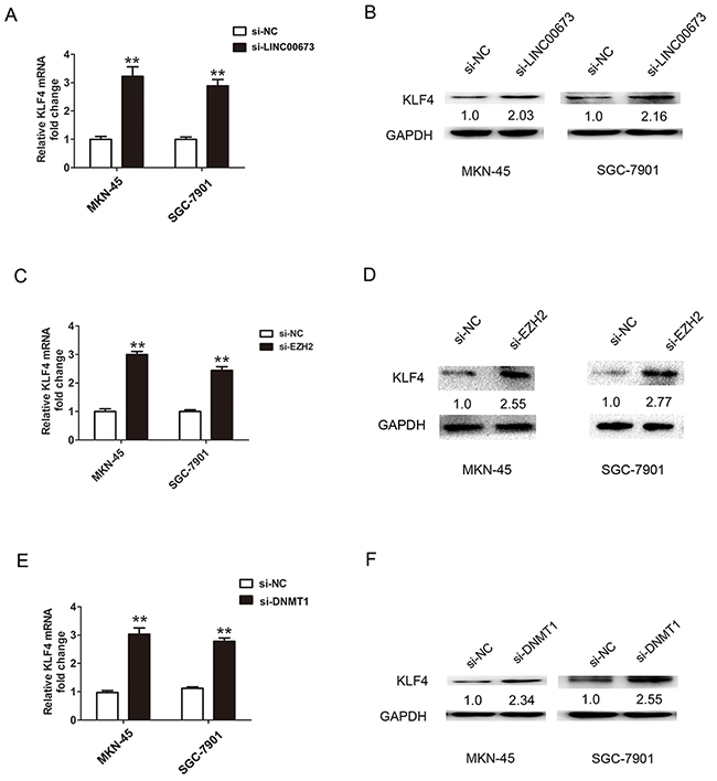 LINC00673 suppressed KLF4 expression via interacting with EZH2 and DNMT1 in GC cells.