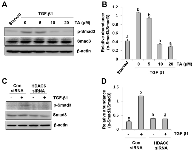 HDAC6 is required for TGF-β induced Smad3 phosphorylation in peritoneal mesothelial cells.