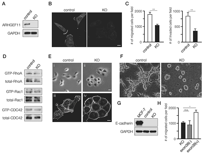Generation and characterization of A11exon38(+) knockout MDA-MB-231 cells.