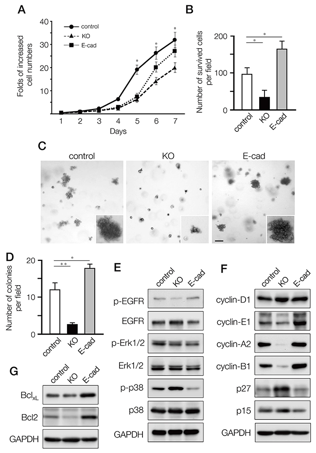 Effects on cell proliferation, growth and survival of MDA-MB-231 cells by depleting A11exon38(+) or forced expression of E-cadherin.