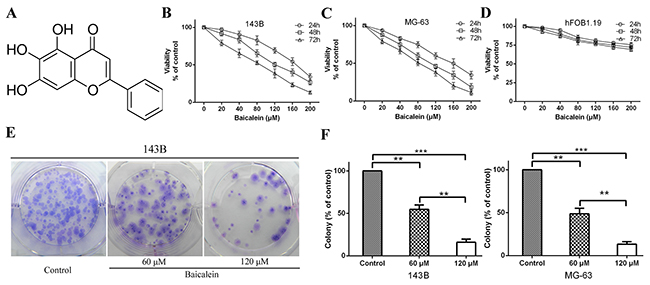 Baicalein inhibits osteosarcoma cells proliferation in vitro.