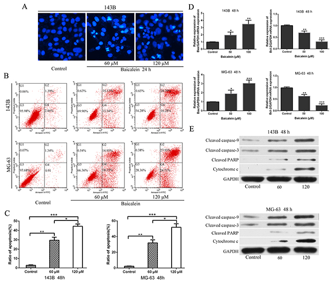 Baicalein induces appotosis of osteosarcoma cells.
