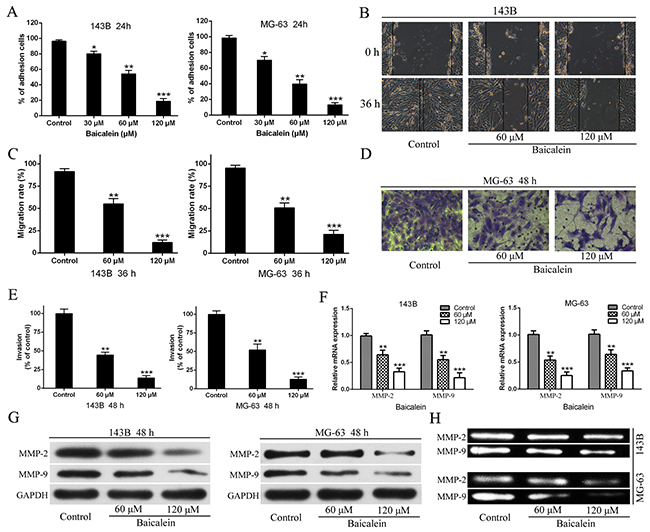 Baicalien inhibits motility potential of osteosarcoma cells.