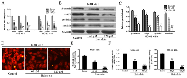 Baicalein represses the expression of β-catenin and Wnt/β-catenin target genes in osteosarcoma cells.