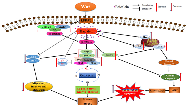 Schematic view depicting mechanisms of baicalein inhibits progression of osteosarcoma cells through inactivation of the Wnt/β-catenin signaling pathway.