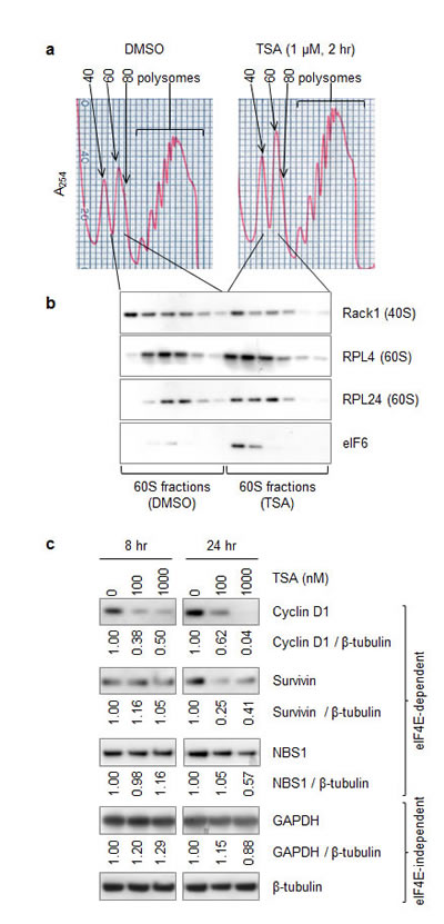 Like RPL24 knockdown, HDACi reduces 80S assembly while increasing 60S retention of eIF6 and reduces expression of cap (eIF4)-dependently translated proteins.
