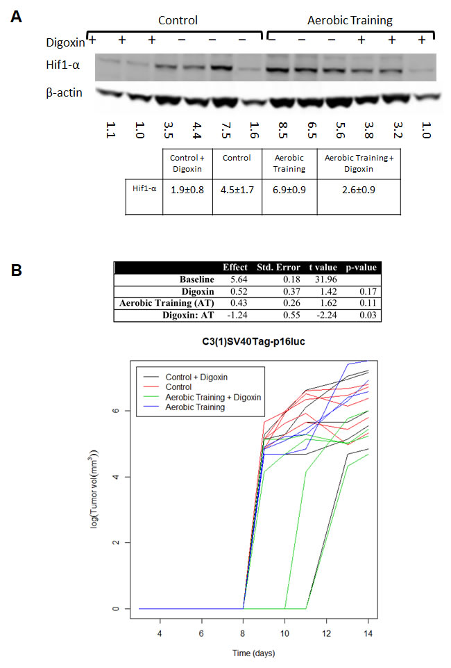Aerobic training and Hif1-α inhibitor effects on mouse breast tumor growth.
