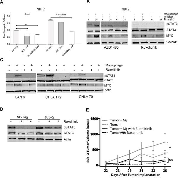 Macrophage-mediated proliferation of NBT2 cells is dependent on STAT3 phosphorylation.