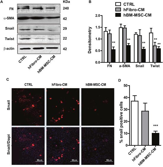 hBM-MSC-CM decreases EMT traits of SCCs.