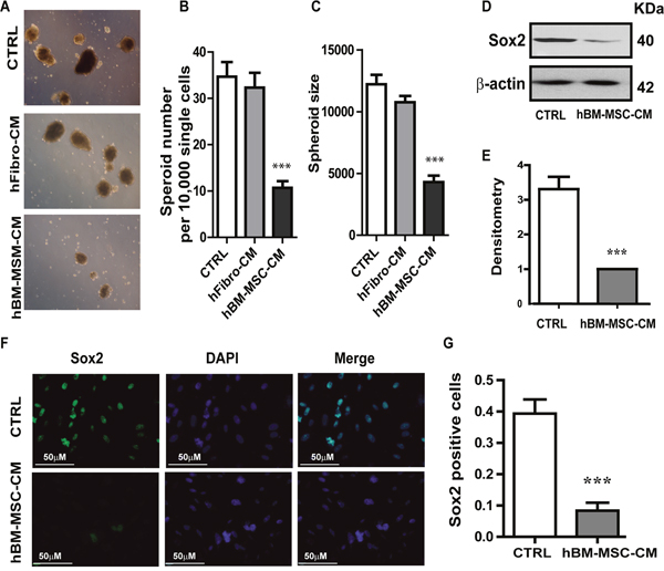 hBM-MSC-CM decreases SOX2 expression and tumor spheres formation.