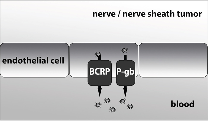 A mechanistic figure of the proposed function of BCRP and P-gb at the blood-nerve-barrier.