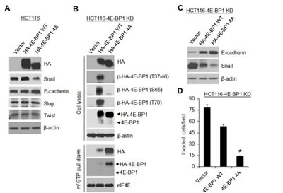 A dominant active 4E-BP1 mutant profoundly inhibits Snail expression and cell invasion.