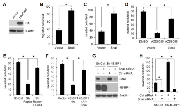 Snail is an important effector of mTORC1/4E-BP1 signaling responsible for translational control of cancer cell migration and invasion.