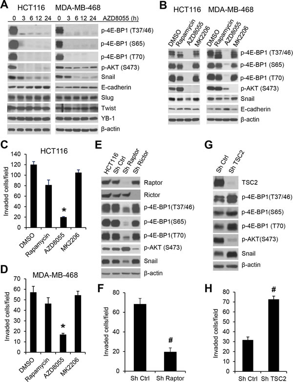 mTORC1 plays a critical role in the regulation of Snail expression and cancer cell motility.