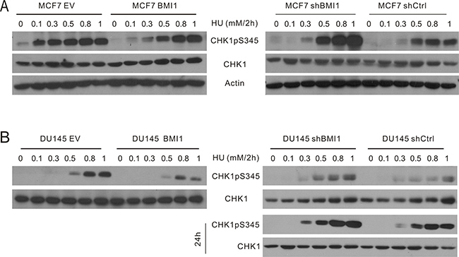 BMI1 reduces the early onset of CHK1pS345 caused by HU.