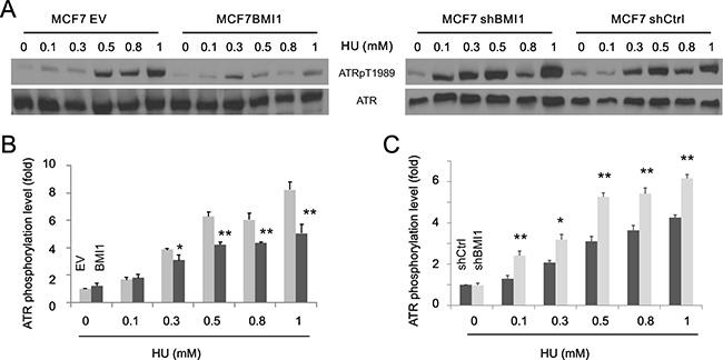 BMI1 reduces ATR activation.