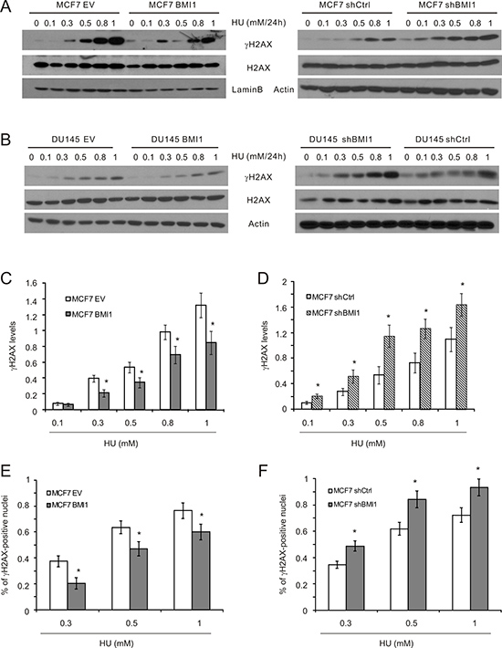 BMI1 attenuates γH2AX in cells treated with HU.