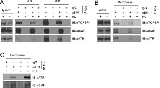 BMI1 associates with TOPBP1.