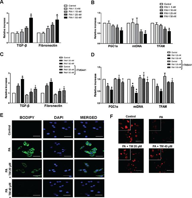 TM5441 inhibited downregulation of mitochondrial biogenesis-related genes and lipid accumulation in HepG2 cells.