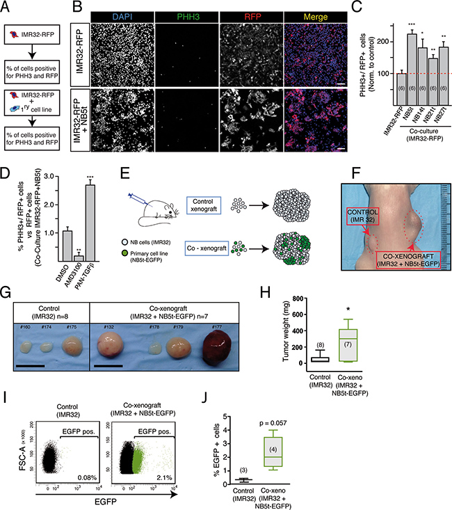NB tumor-derived adherent cells increase proliferation of NB cell lines in vitro and favor tumor growth in vivo.