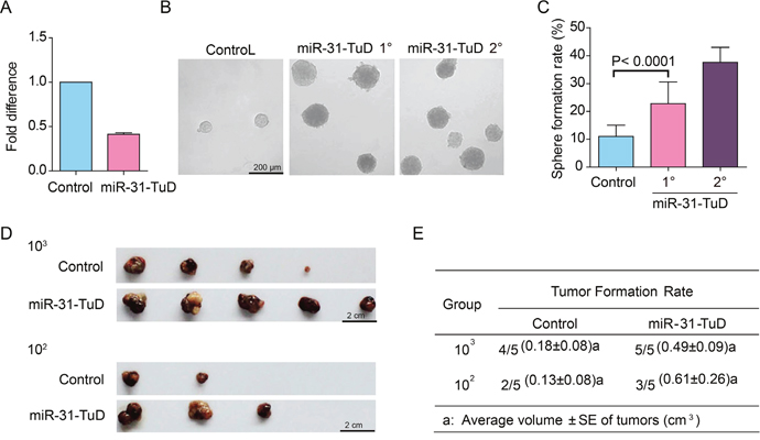The effects of miR-31 knockdown on the stem cell-like properties of HCC cells.