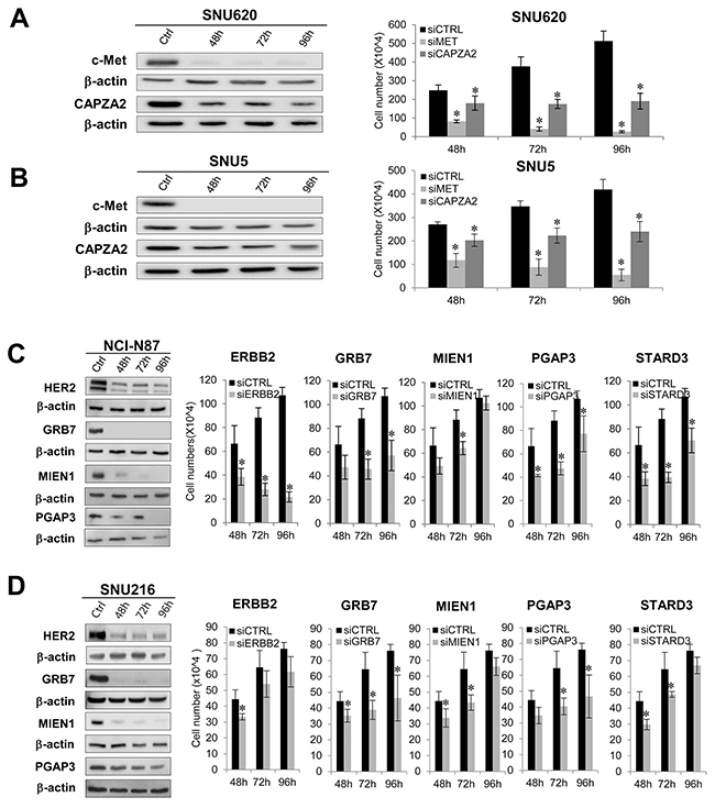 Effect of siRNA-mediated knockdown of genes co-amplified with MET or ERBB2 on proliferation of GC cells.