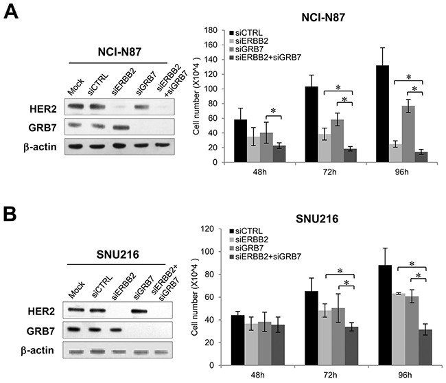 Effect of combined knockdown of ERBB2 and GRB7 on proliferation of GC cells.