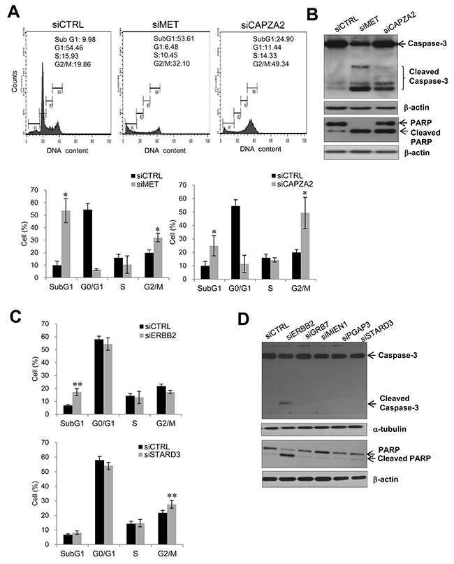 Effect of siRNA-mediated knockdown of genes co-amplified with MET or ERBB2 on cell apoptosis or cell cycle progression.