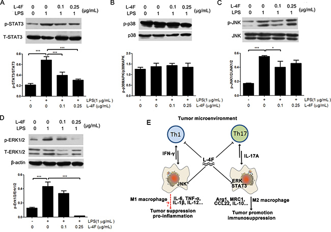 L-4F down-regulated STAT3 and MAPK signaling pathways in lipopolysaccharide-treated RAW 264.7 cells.