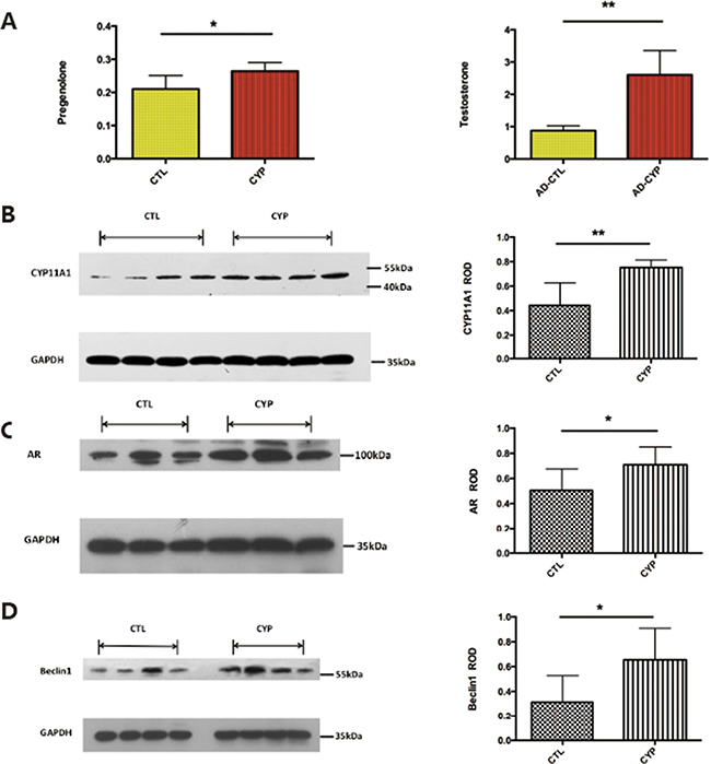 Adenovirus induced CYP11A1 expression in pregnant rats induce androgen receptor (AR) mediated pathway.