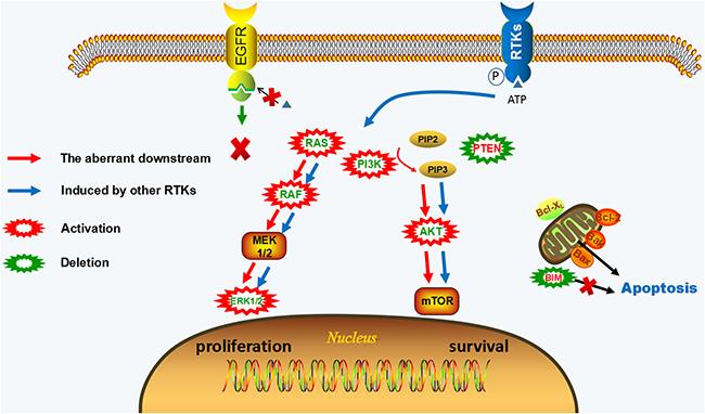 EGFR-independent resistance mechanisms of irreversible EGFR-TKIs.