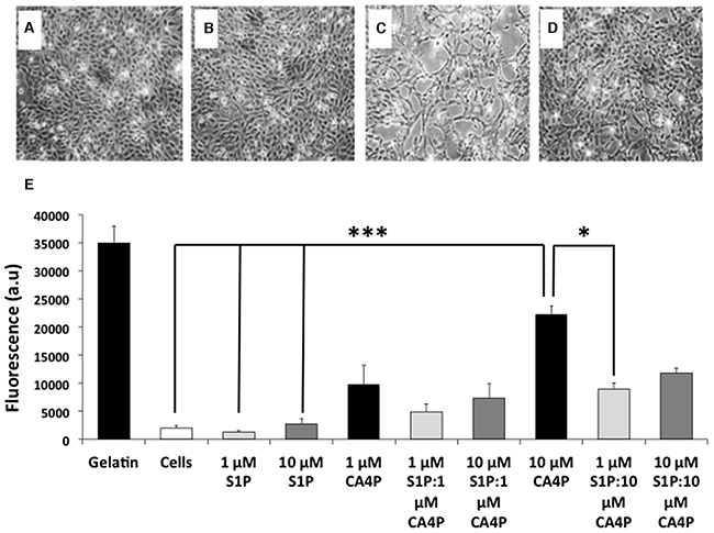 CA4P induced permeability of HUVEC monolayers is ameliorated by pretreatment with S1P.