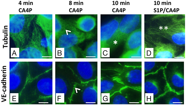 CA4P-induced tubulin depolymerisation as well as VE-cadherin redistribution is prevented by S1P.