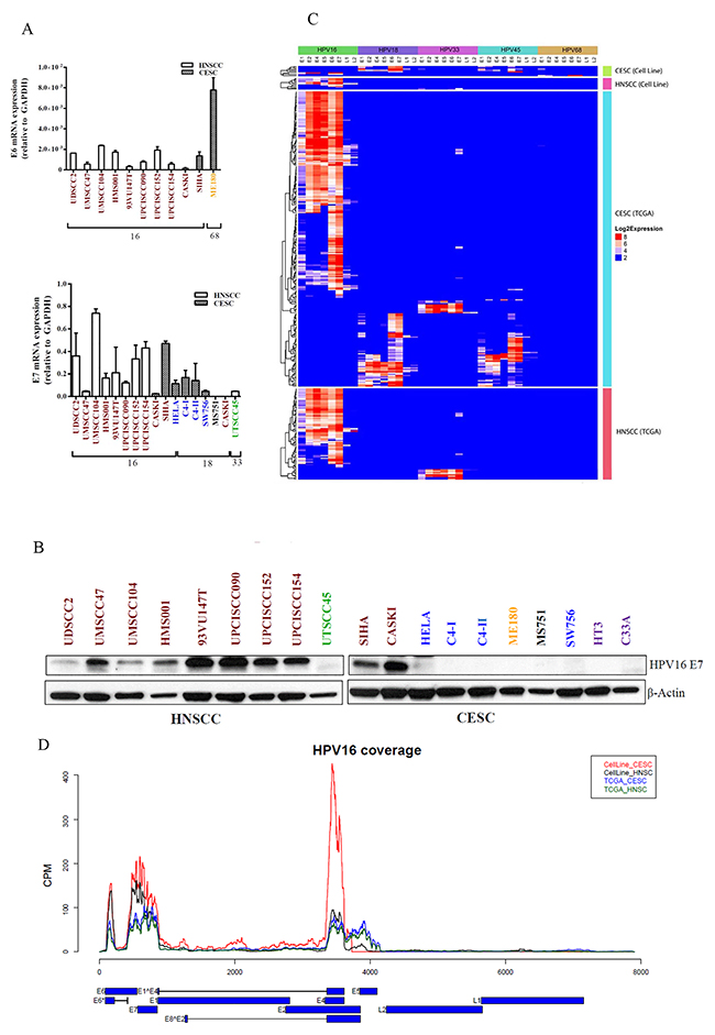 HPV viral gene expression in HNSCC and CESC cell lines and TCGA tumors.