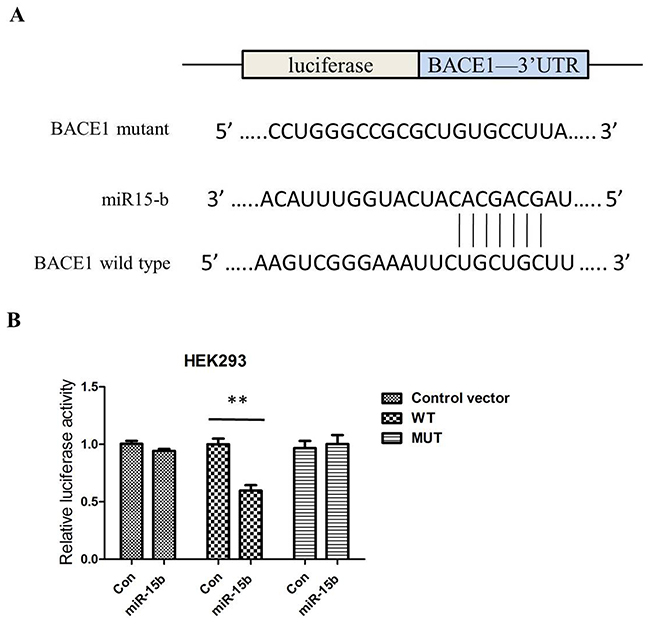 MiR-15b regulates BACE1 expression by directly binding to the 3′-UTR of BACE1 mRNA.