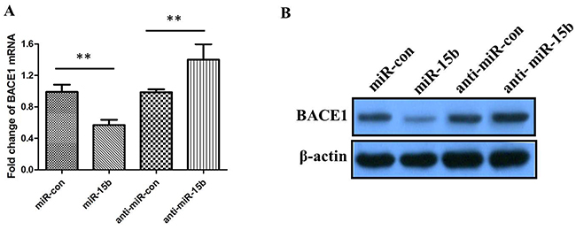 The relative levels of BACE1 mRNA and protein in SH-SY5Y cells transfected with miR-15b mimics, miRNA mimic negative control (miR-con), miR-15b inhibitors (anti-miR-15b), or miRNA inhibitor negative control (antimiR-con).