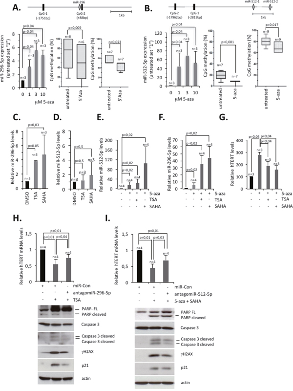Epigenetic silencing of miR-296-5p and miR-512-5p ensures hTERT expression in basal-type breast cancer cells.
