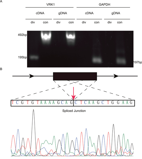 PCR and Sanger sequencing validates the existence of circVRK1.