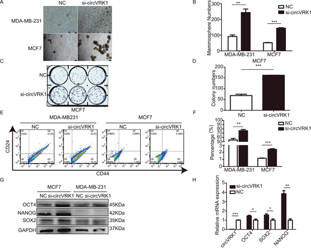 CircVRK1 displays a negative regulatory effect on self-renewal capacity, BCSCs' expansion and expression levels of stemness-related markers in vitro.