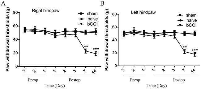 Mechanical sensitivity threshold of the model rats.