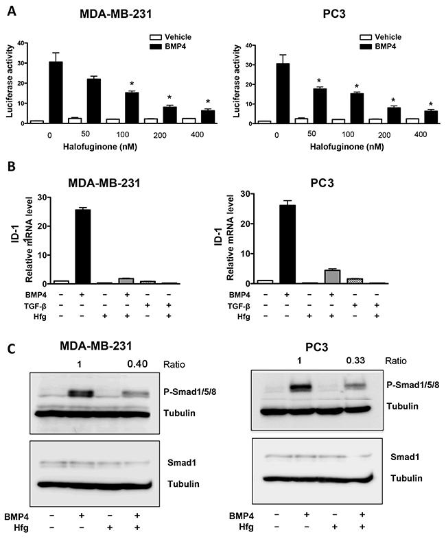 Halofuginone inhibits BMP signaling.