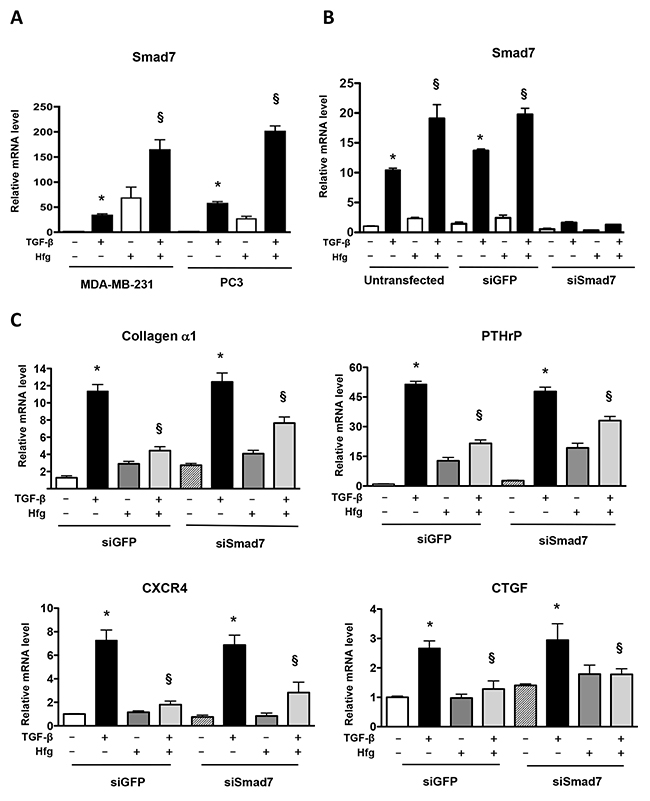 Knockdown of Smad7 does not prevent inhibition of TGF-β by halofuginone.