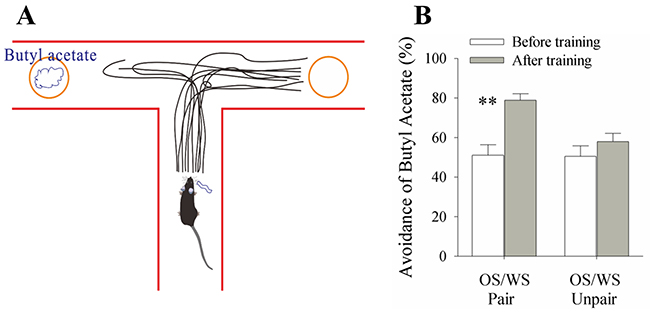 A simultaneous pairing of whisker stimulus (WS) and olfactory stimulus (OS) leads to whisker-induced olfaction responses.