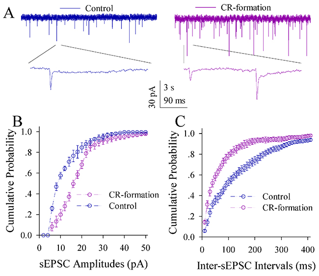 Excitatory synaptic transmission on the pyramidal neurons of the piriform cortices increases in CR-formation mice.